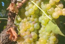 Photo of Mario's Wijnkeuze : Vernaccia, koning druif uit Toscane