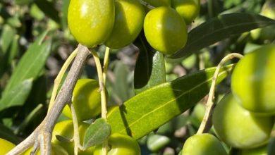 Photo of Waarom uw Italiaanse olijfolie steeds zeldzamer en duurder wordt